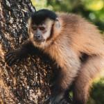 Primata